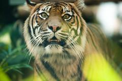 Tiger (Sha Sha Chu) Tags: animals tiger sydney australia newsouthwales tarongazoo