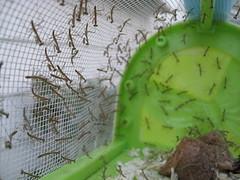 IMG_6504 - Praying Mantis Nymphs (tend2it) Tags: usa mantis insect praying egg case nymph