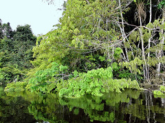 (eeiger) Tags: brazil verde green nature brasil reflections landscape amazon natureza selva paisagem jungle floresta foret reflexos archipelago amazonia black folhagem river anavilhanas rio arquipelago negro eeiger elaine eiger
