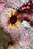 Burning Eye (Lea's UW Photography) Tags: underwater redsea fins scorpionfish unterwasser canon100mm drachenkopf canon7d leamoser