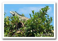 iguana, Pantanal, Brazil