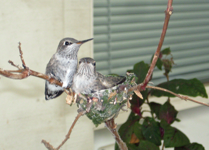 Hummingbird Nest 2