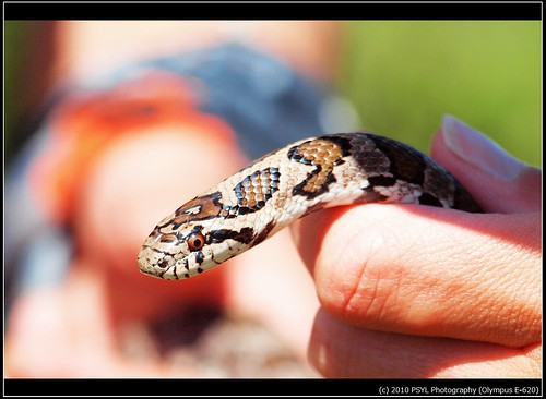 Milk Snake (Lampropeltis triangulum)