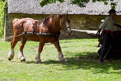 Trait breton (Oric1) Tags: poulfetan écomusée bretagne brittany breizh armorique france oric1 cheval trait breton horse animal nature jeanlucmolle