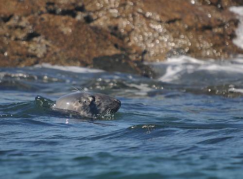 grey seal2