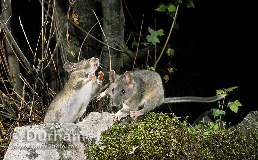 bushy-tailed woodrats (Neotoma cinera)