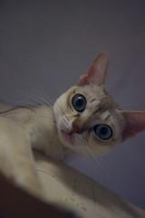 20100703.jpg (sakuraquiet) Tags: cat stud singapura turechang