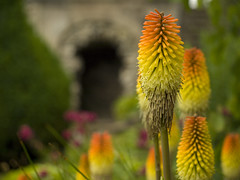 The Gardens at Alton Towers (DaveKav) Tags: uk england orange flower yellow gardens mystery olympus cave staffordshire altontowers shallowdepthoffield redhotpoker e510 platinumheartaward altontowergardens