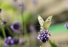 Großer Kohlweißling / Large White (2) (Ellenore56) Tags: life light summer white inspiration color colour nature animal butterfly garden insect licht loop sommer sony natur lavender july philosophy cycle physics environment imagination mathematics juli alpha economic creature magical farbe insekt garten chaostheory leben tier ecological umwelt lavendel largewhite butterflyeffect pierisbrassicae lebewesen disambiguation turbulenzen kohlweisling schmetterlingseffekt chaostheorie groserkohlweisling dslra350 sonyalphadslra350 philosofi ellenore56 13072010 dynamicl