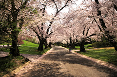 Spring Cherry Blossoms (` Toshio ') Tags: road pink trees flower nature cherry washingtondc dc washington petals spring branch natural blossoms perspective maryland treetrunk bloom trunk cherryblossoms hdr highdynamicrange kenwood cherryblossomfestival toshio heritage2011