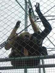Gibbons3
