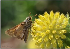 """Friends are kisses blown to us by angels.""  ~Author Unknown (Tracey Tilson Photography) Tags: summer brown flower macro yellow closeup butterfly garden insect nc wings nikon north micro carolina picnik d90 wetkneephotography"