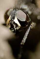 Glasses (mitlageri) Tags: canon bug insect eos glasses hungary rovar bogár 550d szemüveg légy t2i magyarorszg