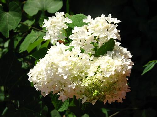 hydrangea 'Little Lamb'
