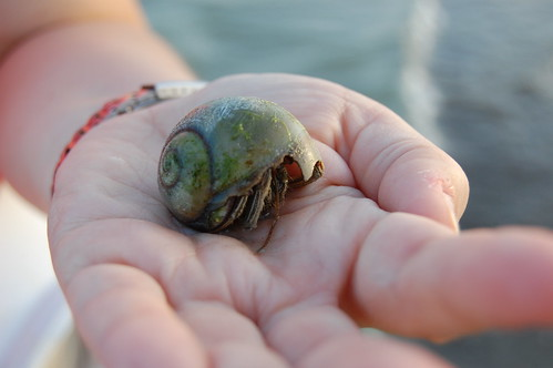 A sizeable hermit crab