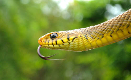 flick of fear.. portrait of indian rat snake