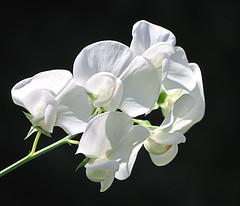 Brede lathyrus -  Perennial peavine - Lathyrus latifolius albus (RuudMorijn-NL) Tags: white flower fleur beautiful de flor blanca yang belle blomma bunga indah blanche blume bela fiore blomst wit hermosa bianco beyaz branca perennial hvid putih lathyrus schöne bloem çiçek güzel albus kwiat weise flori bellissimo peavine brede vit blom цветок белый vacker lathyruslatifolius latifolius smuk biały piękny pragtige frumoase culoare цветя бели красивый anawesomeshot wiite perennialpeavine красиви bredelathyrus 美麗的白的花 美しい白い花 albă