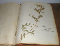 DAD'S BOTANY BOOK II...WILD VETCH (Louise001) Tags: california old northerncalifornia book handmade antique mendocino wildflowers botany pottervalley