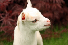 Goat Kid (AppleBlossom12) Tags: pet baby cute nature beautiful animal outdoors kid pretty sweet gorgeous young goat newborn livestock nigeriandwarf