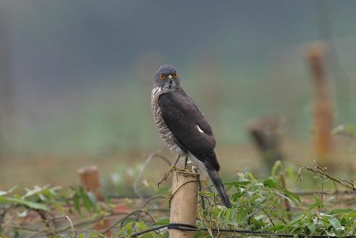 田寮洋的松雀鷹;攝影:阿偉