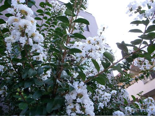 サルスベリ (白)