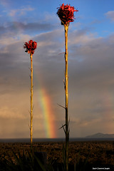 Doryanthes excelsa - Gymea Lily and Rainbow over Cape Hawke - From One Tree Hill -Tallwoods (Black Diamond Images) Tags: sunset clouds rainbow australia greatlakes nsw settingsun lateafternoonsun onetreehill bdi hallidayspoint midnorthcoast manningvalley blackdiamondimages tallwoods capehawke arfternoonlight hallidayspointtourism