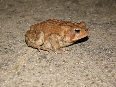 Toad hanging out on the porch (Doug Gray (513)) Tags: toad