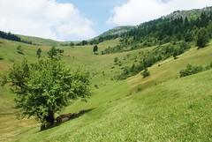 sheep asleep (kosova cajun) Tags: sleeping summer tree landscape highlands sheep pasture shade kosova kosovo pastoral dele kosovë rugova peisazh bogë rugovë bjeshkë
