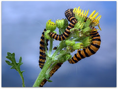 Caterpillar Diner! (macfudge1UK) Tags: uk summer england food nature fauna bug insect flora europe feeding wildlife ngc moth lakeside caterpillar feed sos oxfordshire 2010 oxon potofgold seneciovulgaris naturesfinest cinnabarmoth tyriajacobaeae stantonharcourt allrightsreserved hs10 britishwildflowers bej countryfile impressedbeauty commongroundsel buzznbugz ahqmacro wonderfulworldofmacro naturethroughthelens 100commentgroup beautifulmonsters lttf fujifilmfinepixhs10 fujihs10 rspblovenature bbcnatureuksummerwatch
