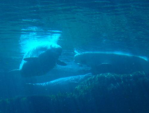 Vancouver Aquarium - Beluga Whales (6)