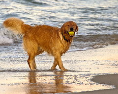 Golden Retriever playing in the surf by gr8dnes, on Flickr