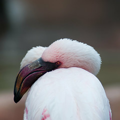 Fenicottero Rosa (leon_1970) Tags: macro nature natura primopiano firstfloor fenicotterorosa flamingopink