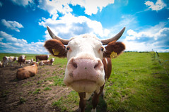 Good thing cows are curious (alexbartok) Tags: kuh cow bluesky tokina ultrawide 1116 ultraweitwinkel geocity exif:iso_speed=200 d300s tokina1116 exif:focal_length=11mm camera:make=nikoncorporation exif:make=nikoncorporation geostate geocountrys camera:model=nikond300s exif:model=nikond300s exif:lens=110160mmf28 exif:aperture=28