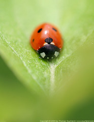 Ladybird (Thomas Suurland) Tags: macro green closeup insect ladybird ladybug suurland thomassuurland