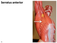 Serratus anterior, dynamic pose - Muscles of t...