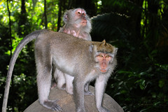 Crazy Ubud Monkeys (cwgoodroe) Tags: road summer bali sun forest indonesia monkey buddha ubud bantubulan