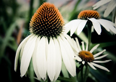 Natural Beauty ({Andrea}) Tags: flower nature beauty canon eos echinacea 50d thedailyshoot ds260
