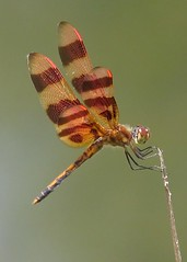 Halloween pennant (Vicki's Nature) Tags: orange male canon georgia gold ode dragonfly stripes s5 pennant halloweenpennant brasstownvalley colorphotoaward natureoutpost vickisnature beautifulworldchallenges bwcgd bwcgdragonfliesbutterflies bwcgfgorh bwcgchlr return100commentadd