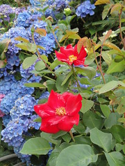 Roses and Hydrangeas at Joy Creek Nursery