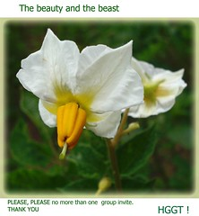 The beauty (Ashley1954) Tags: summer flower smile please greenwhite solanaceae chrysomelidae leptinotarsadecemlineata coloradopotatobeetle supershot solanumtuberosum masterphotos potatoflower platinumphoto excellentsflowers hggt saariysqualitypictures