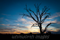 Sunset silhouette (whitworth images) Tags: blue sunset sky tree nature beautiful silhouette yellow clouds landscape dead skeleton nationalpark australia nsw newsouthwales outback sturtnationalpark