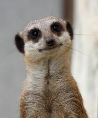 Meerkat (PaulMarchant) Tags: meerkat abigfave
