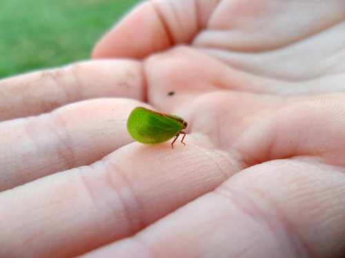 Tiny Leaf Bug
