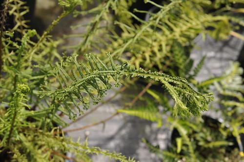 Mystery fern