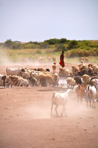 MasaiGoatHerder
