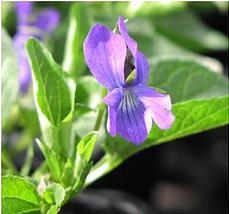 The native violet, Viola adunca, which the NRCS Corvallis Plant Materials Center is growing for silverspot butterfly habitat.