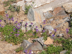 Old lookout site and flowers on Crystal Peak.