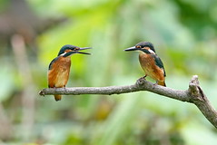Siblings 2 (jcowboy) Tags: bird nature birds animal animals japan asia searchthebest wildlife kingfisher aichi 2010 obu kingfishers  fledgelings june2010 hoshinaike