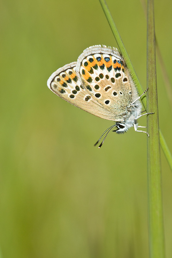 SILVER STUDDED BLUE   #11