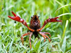 The things you run into in San Francisco (Jouko van der Kruijssen) Tags: sanfrancisco goldengatepark macro crawfish olympus f2 crustacean crayfish botanicalgardens zuiko e510 5omm